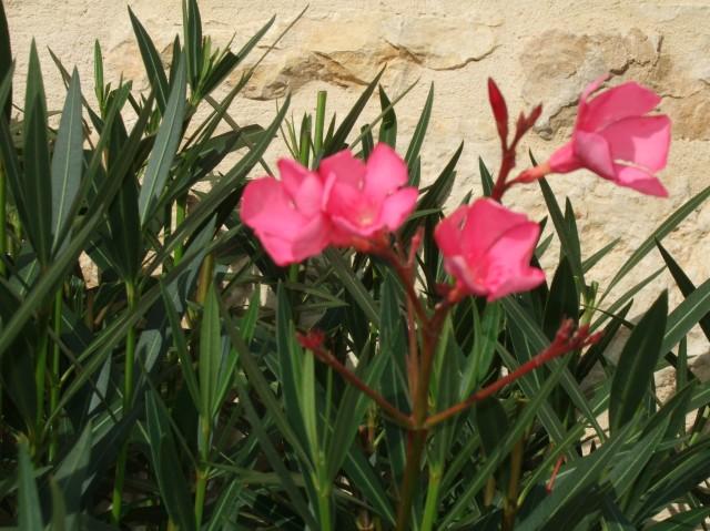 Photo of oleander flowers