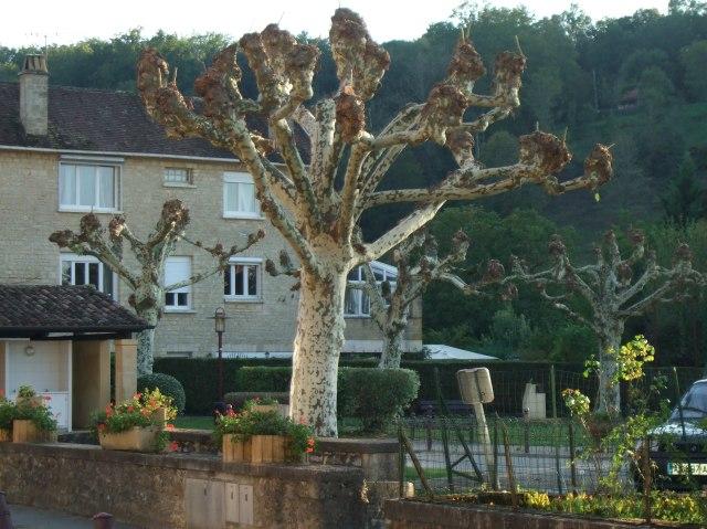 Pruned tree in Cénac, France.