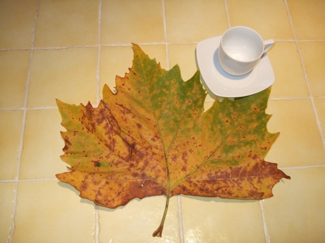 Plane tree leaf, shown with cup and saucer