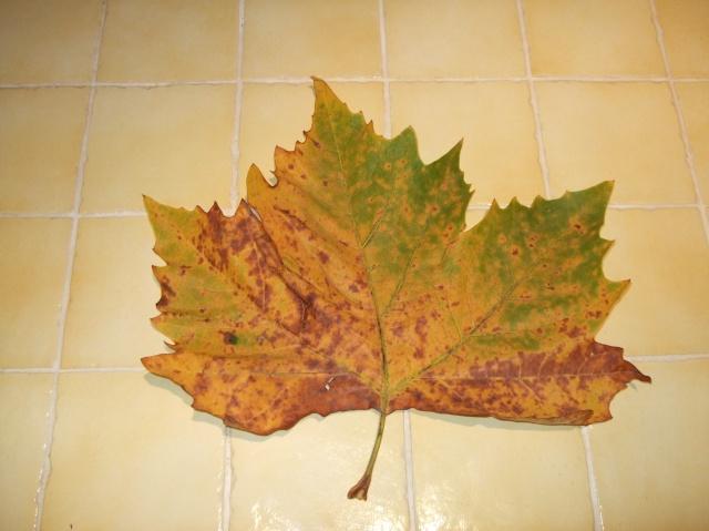 Leaf of a plane tree