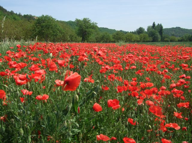 Poppies -- 2