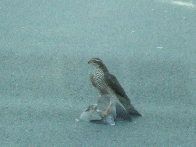 Hawk with kill