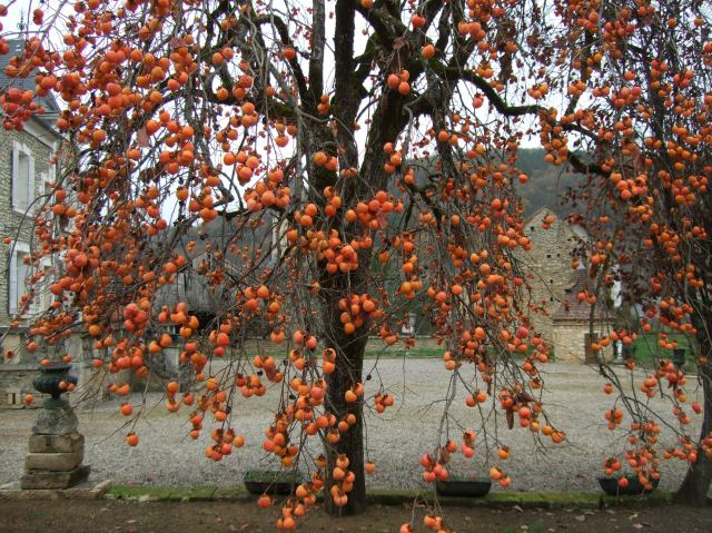 Daglan tree