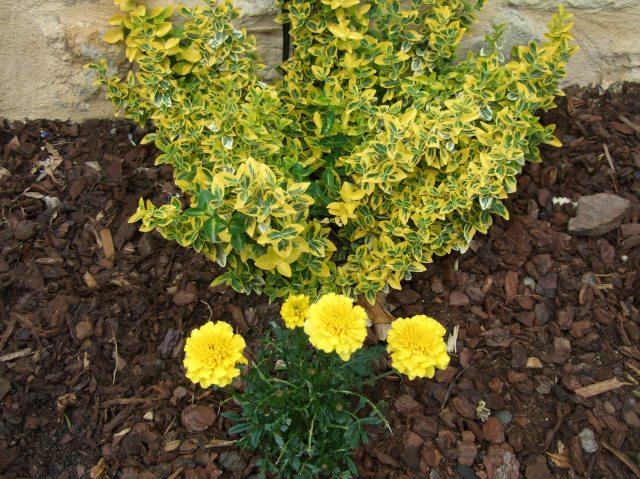 Marigold and euonymus