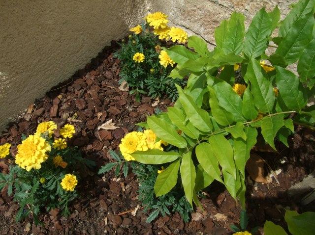 Marigolds & wisteria