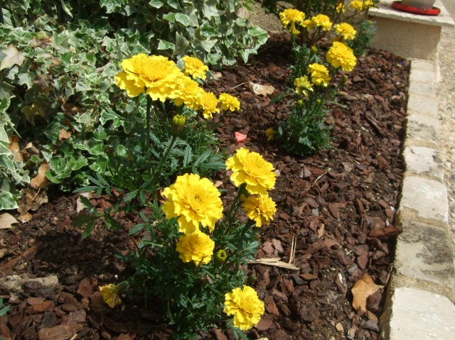 Row of marigolds