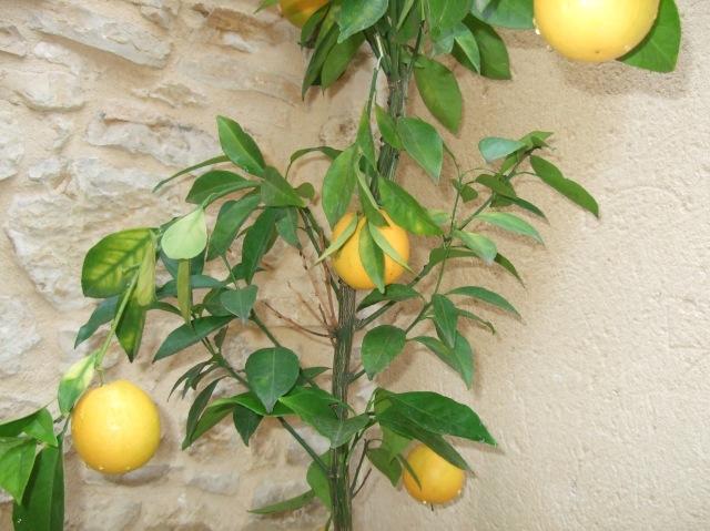 Oranges growing