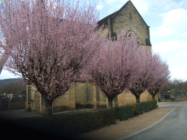 Four flowering trees beside the old stone church in Cénac.