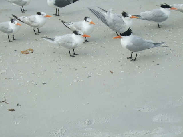 Seabirds on the beach at Anna Maria Island, Florida.