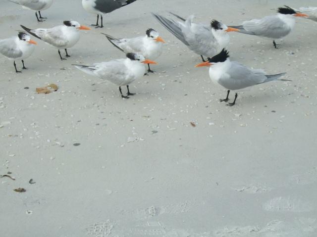 Seabirds on the beach at Anna Maria Island, Florida.