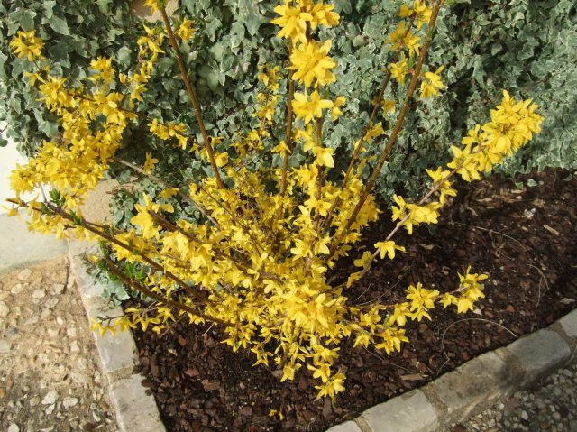 One of our forsythia shrubs is now showing off.