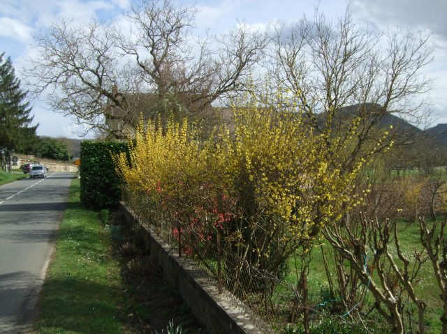 A grouping of forsythias beside the road.