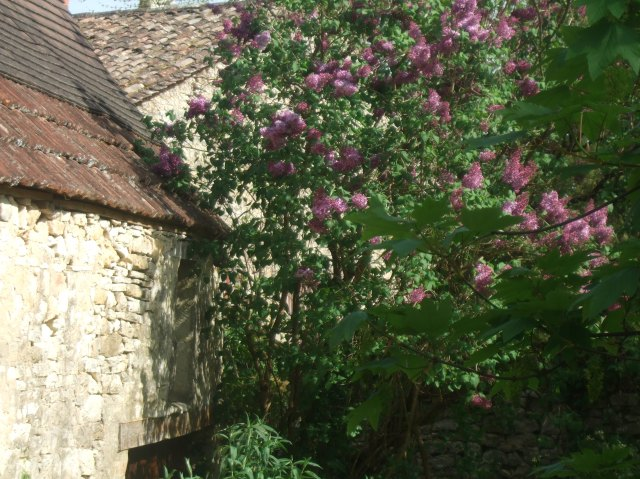 This lilac was growing in the village of St. Cybranet.