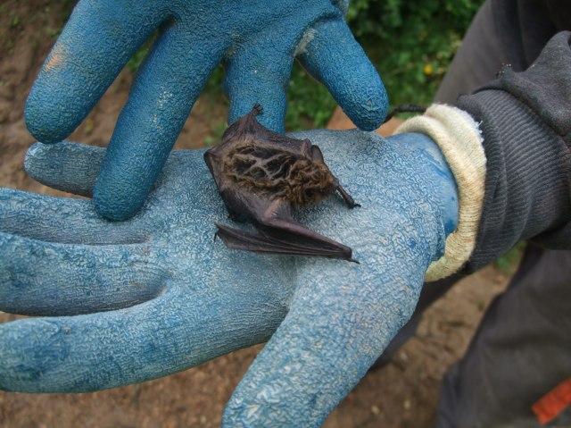 A closer look at the young bat.