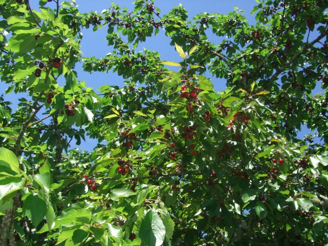 This cherry tree beside the road was full of ripe fruit.