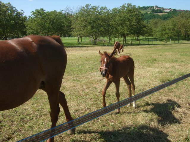 The filly comes up behind her Mom.