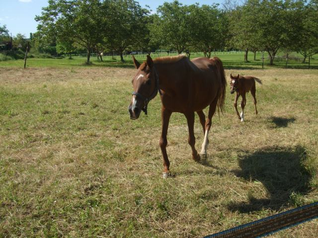 The second mare walks to us, with her foal following.