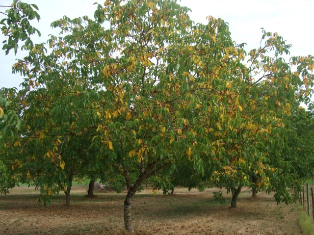 A walnut tree that's speckled with golden leaves.