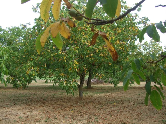 Another look as this walnut grove starts to turn golden.