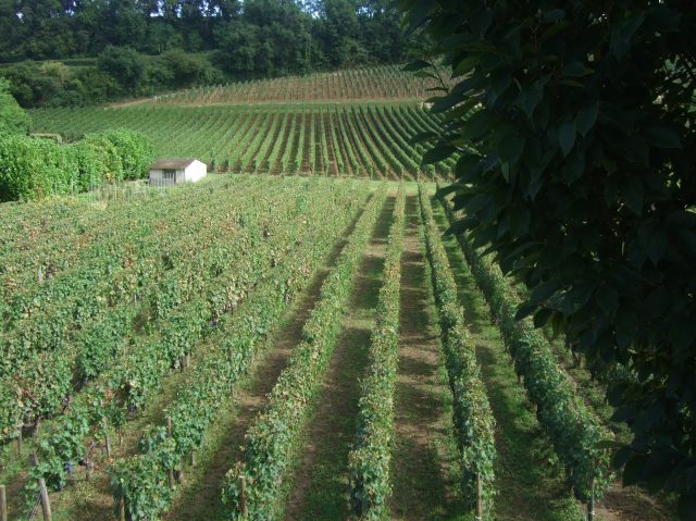 Row upon row of carefully tended vines.