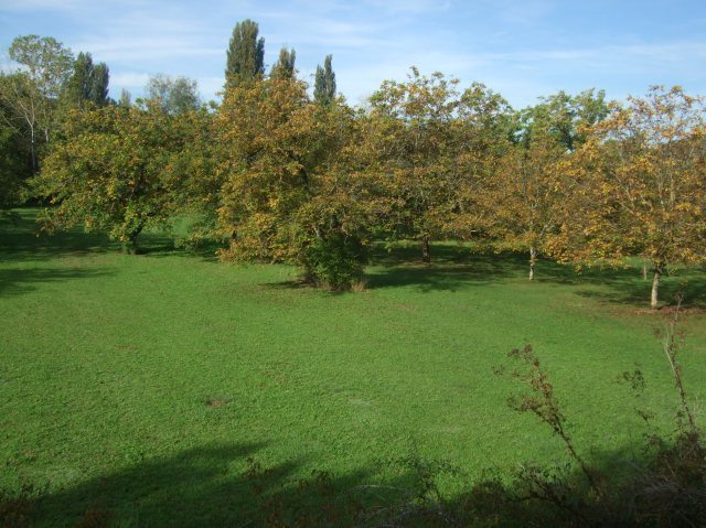 Walnut trees in a grove just outside Daglan.