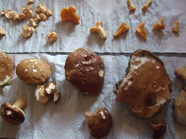 Here's Jan's haul of mushrooms, drying on paper towels.
