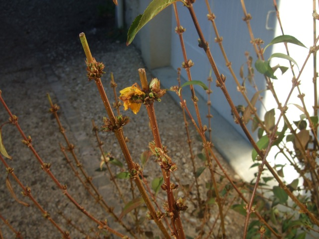 A pretty sad forsythia flower.