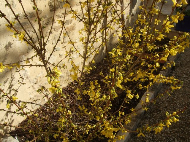 The yellow blooms are all over the shrub.