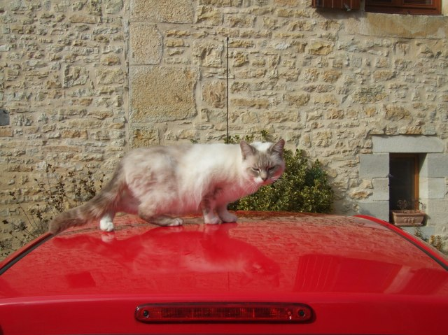 Choupette crouches down on my wife's car.