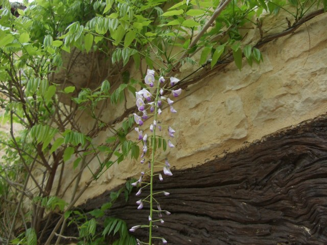 A first look at our first wisteria flower.