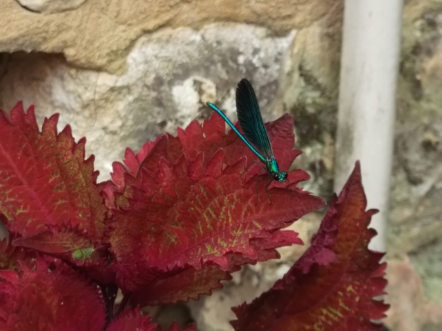 The little blue fellow is seated on a red leaf.