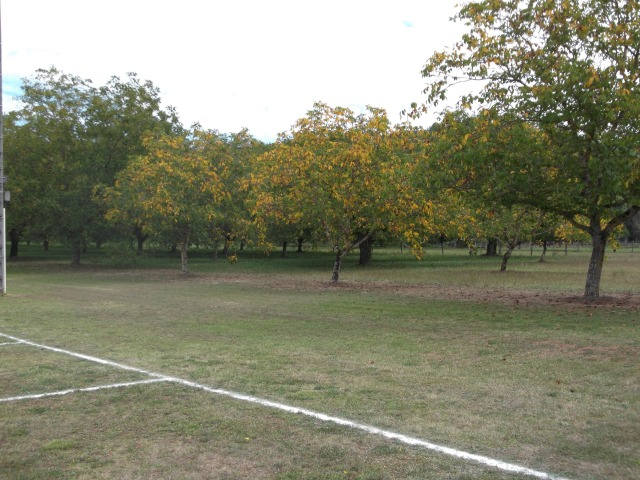 The walnut tree leaves are just starting to show yellow.
