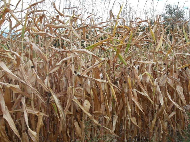 This field of corn is ready to be harvested -- and soon!