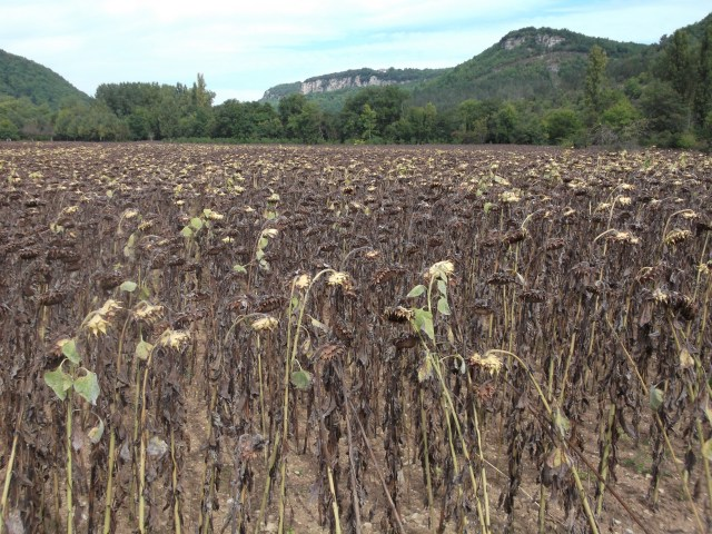A sad-looking field of sunflowers in St. Cybranet.