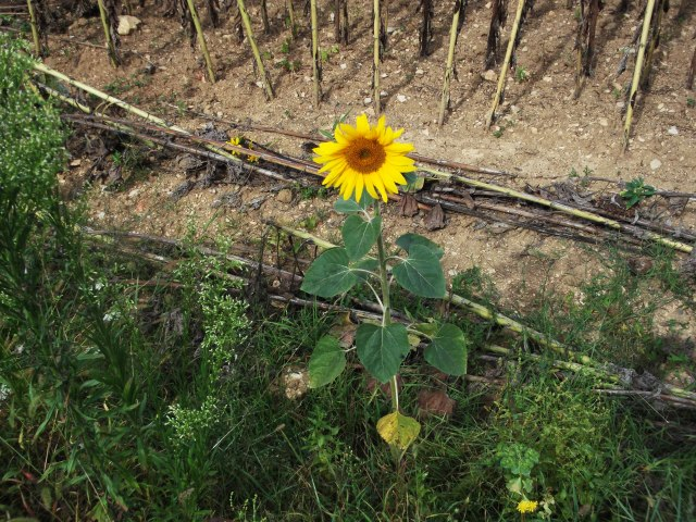 One little sunflower has managed to stay sunny.
