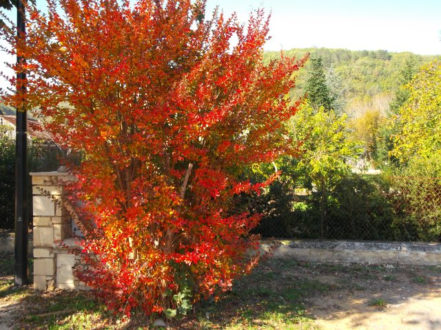 Brilliant red leaves are rare in the Greater Daglan Area.