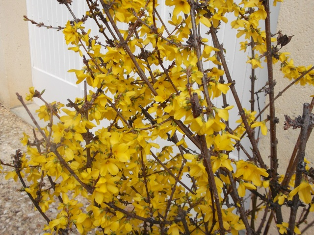 Another spring for our trusty forsythia.