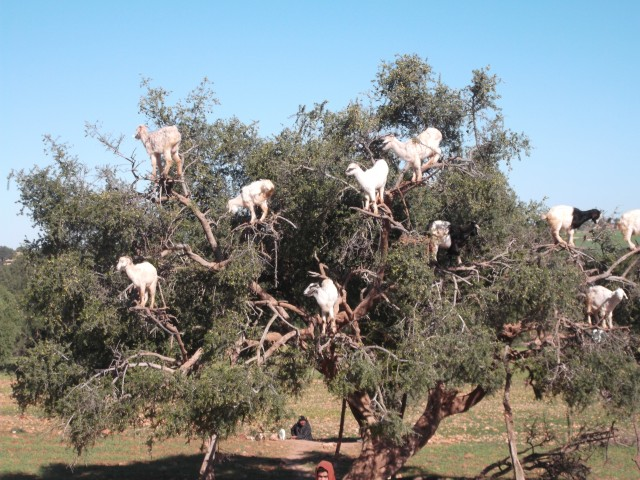 Just off the highway was this tree, covered in hungry goats.