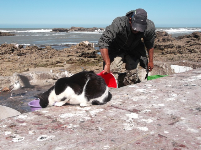 The patient cat kept waiting for one of the fishermen to offer a treat.