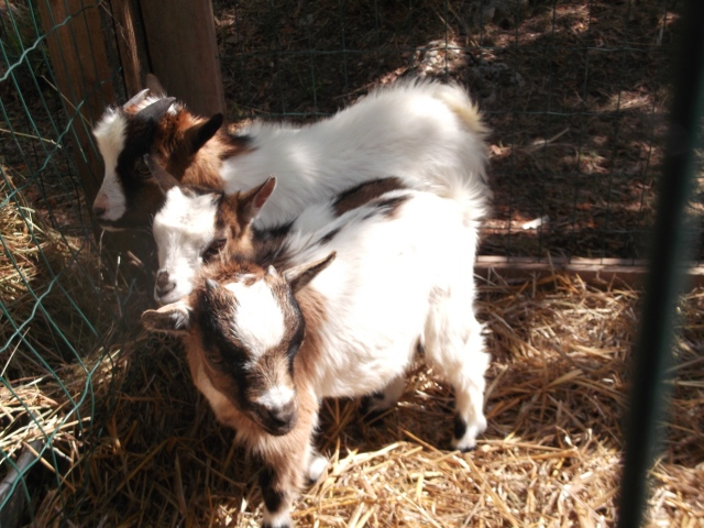 Just a few of the little goats at the show.