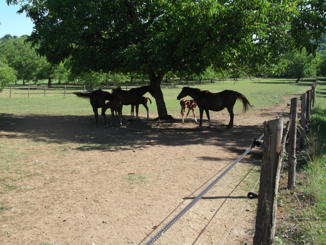 Three mares, three foals, one walnut tree.
