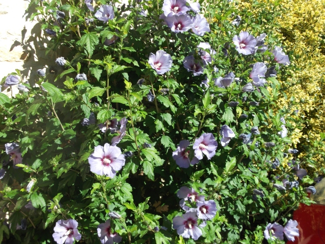 Old Faithful: our Rose of Sharon.