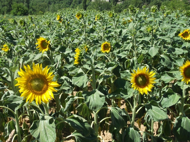 Now it's sunflower season.