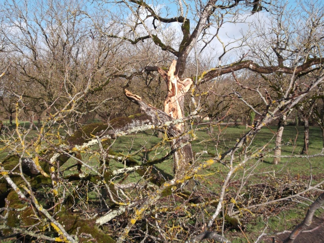 I'm not sure if this walnut tree can be saved.