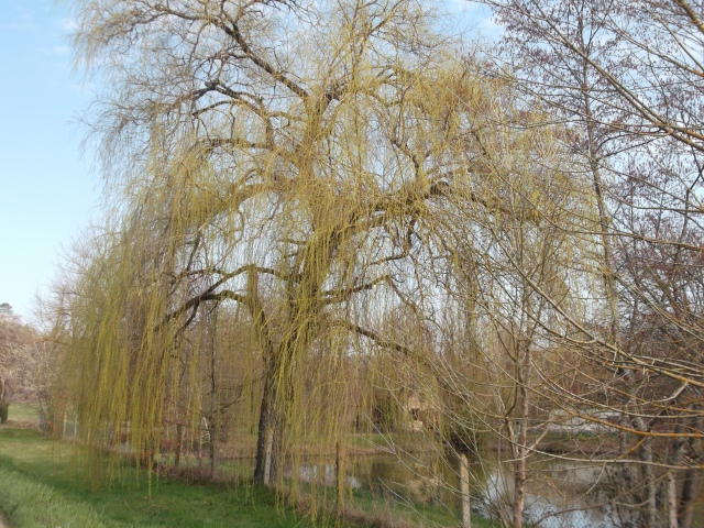 This willow is now sprouting leaves.