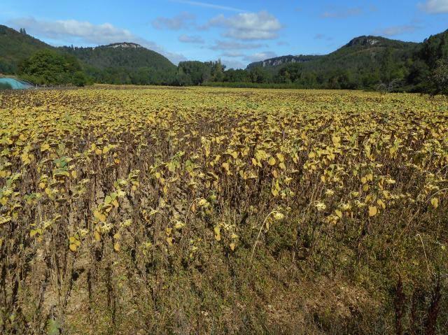 A field of formerly bright sunflowers, drooping in the heat.