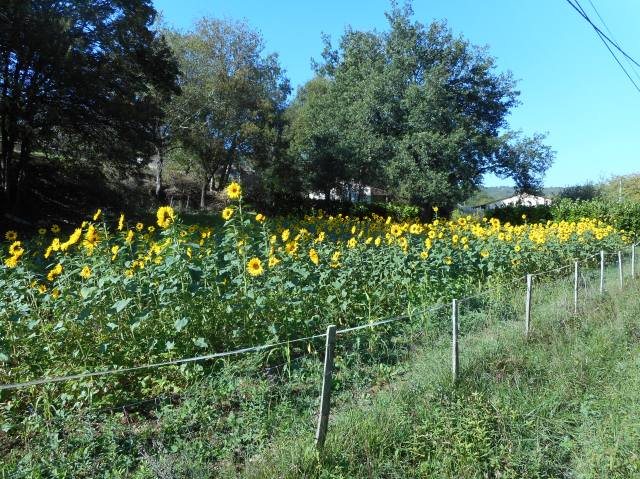 A brave stand of sunflowers indeed.
